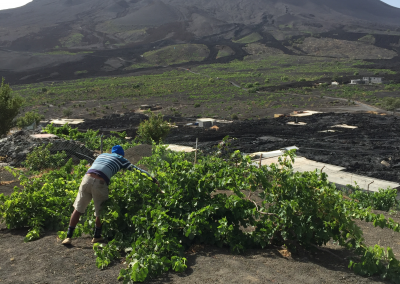 Fogo volcán uvas